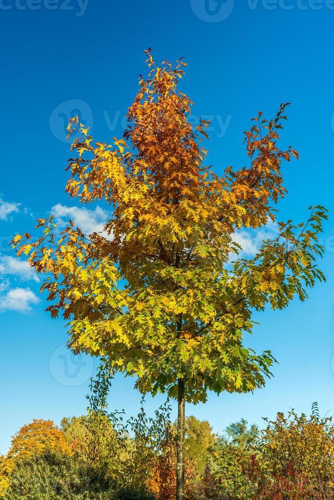 Árbol de arce de color otoñal contra un cielo azul foto
