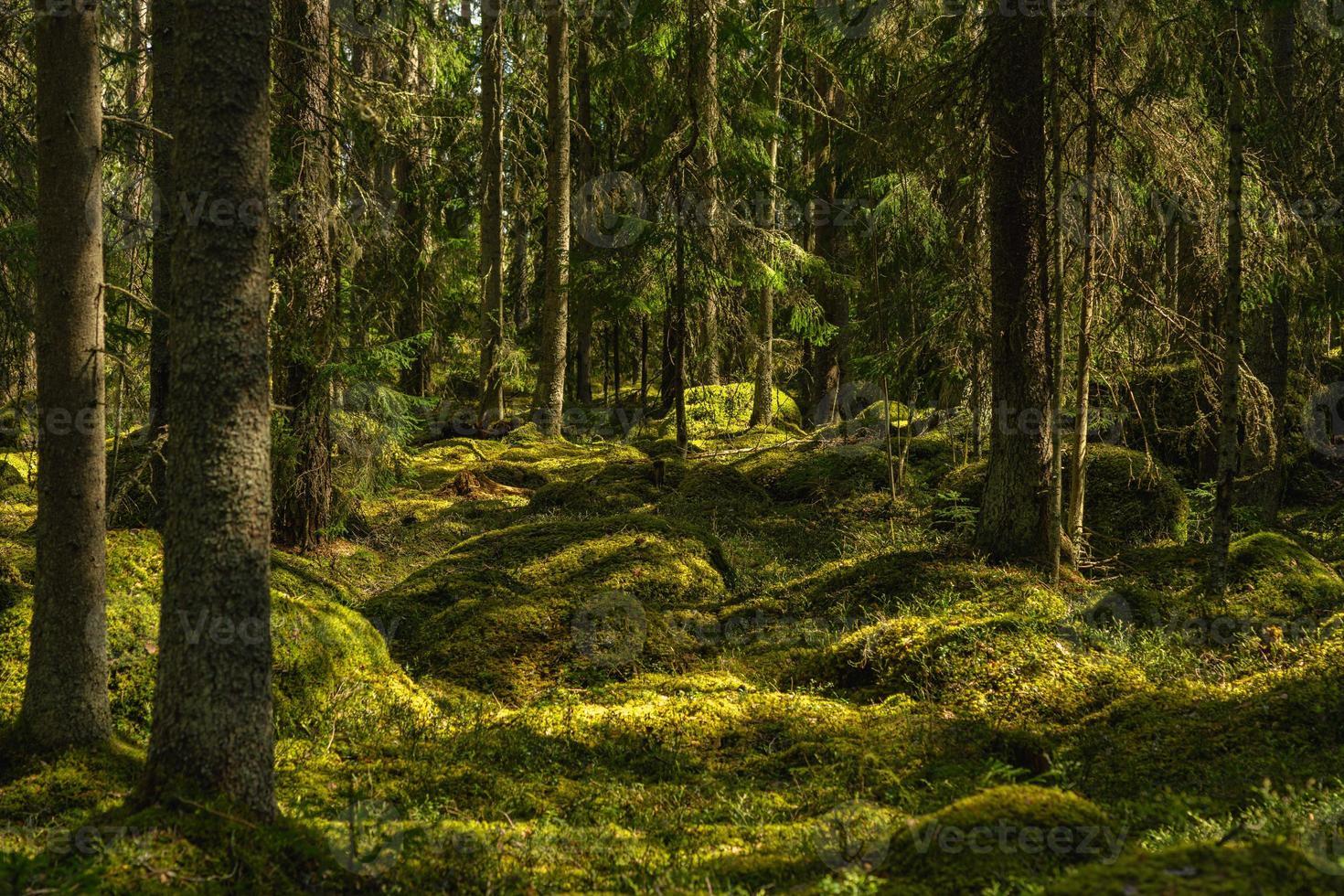 en lo profundo de un bosque salvaje en Suecia foto