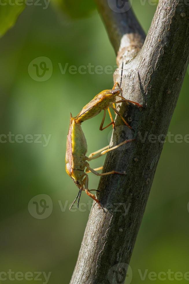 Escudo de insectos apareándose a la luz del sol foto