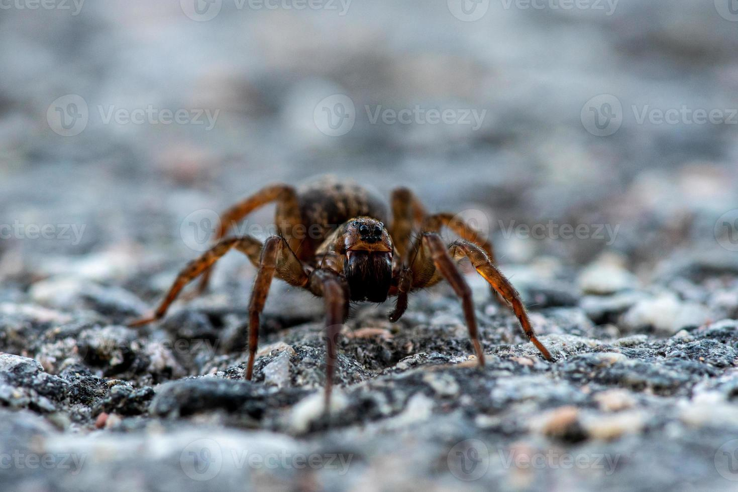 Cerca de una gran araña arrastrándose por el suelo foto