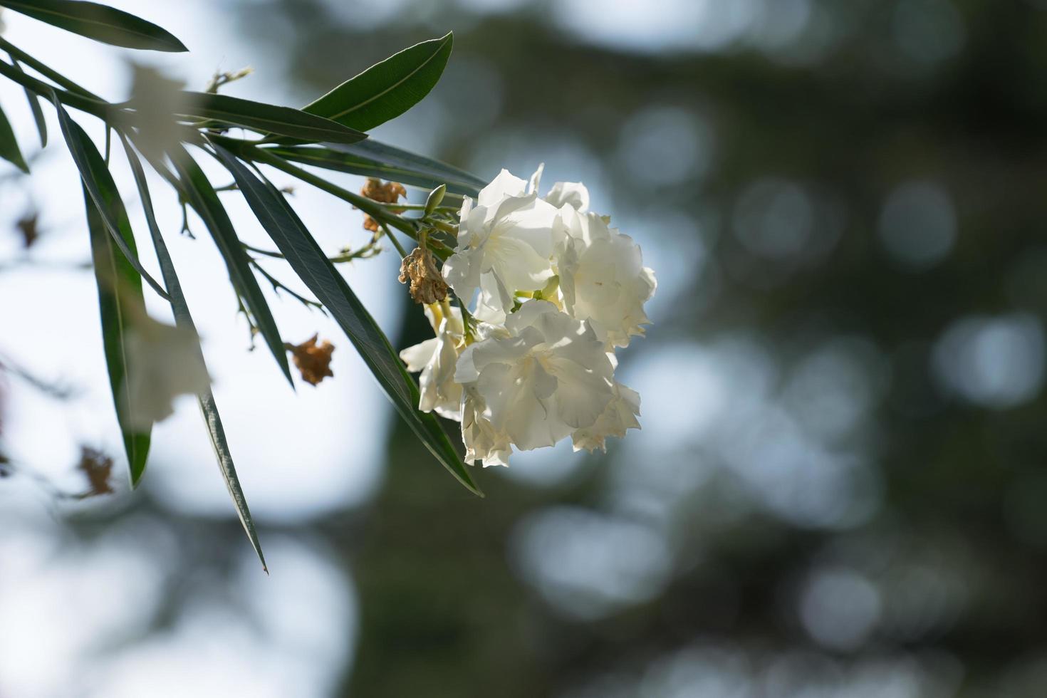 Flor de adelfa blanca sobre fondo gris-verde borroso foto