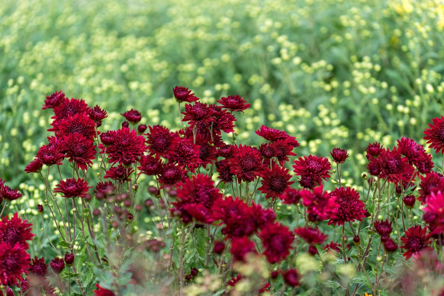 Floral background with a beautiful Burgundy chrysanthemums photo