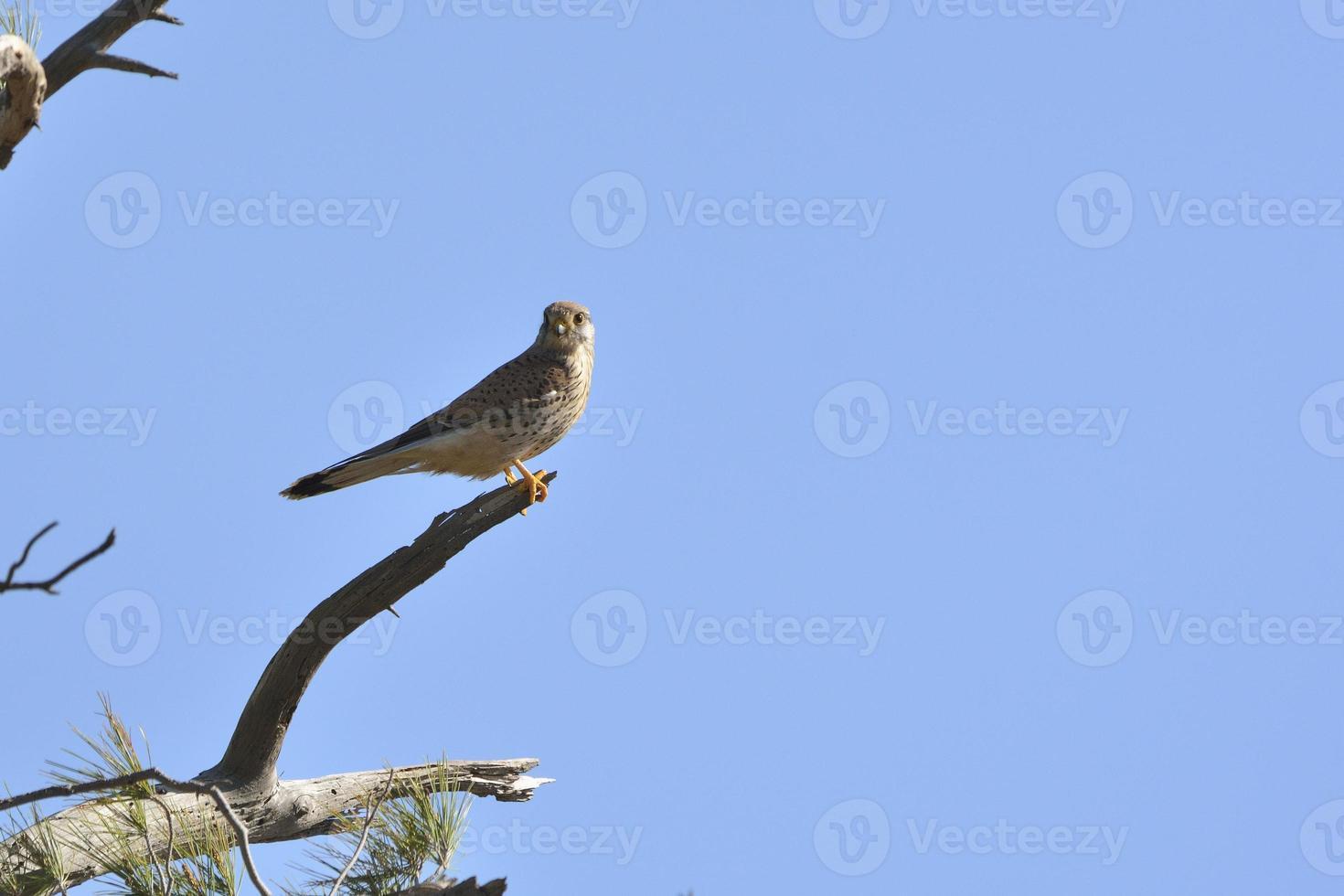 pájaro cernícalo común foto