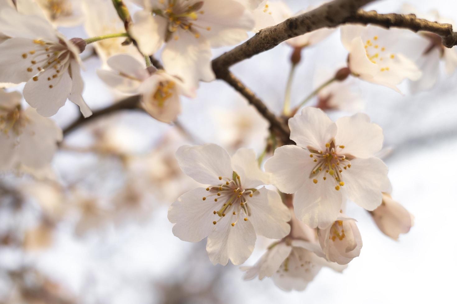 Beautiful peach tree blossom in Japan photo