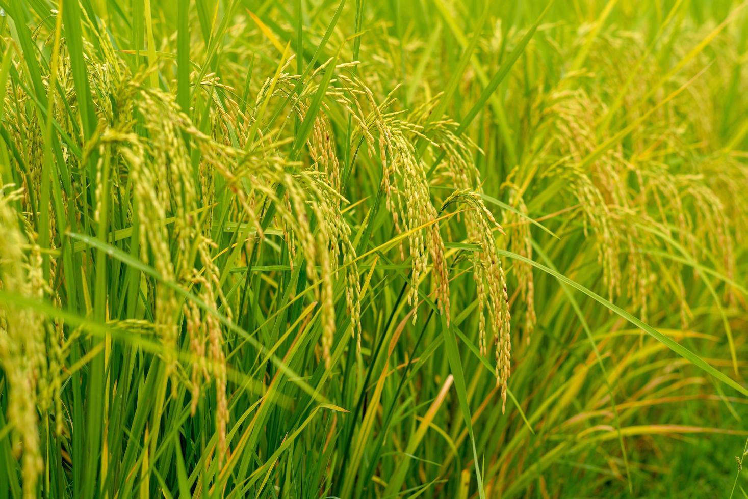 Closeup ear of paddy, jasmine rice, in the field photo