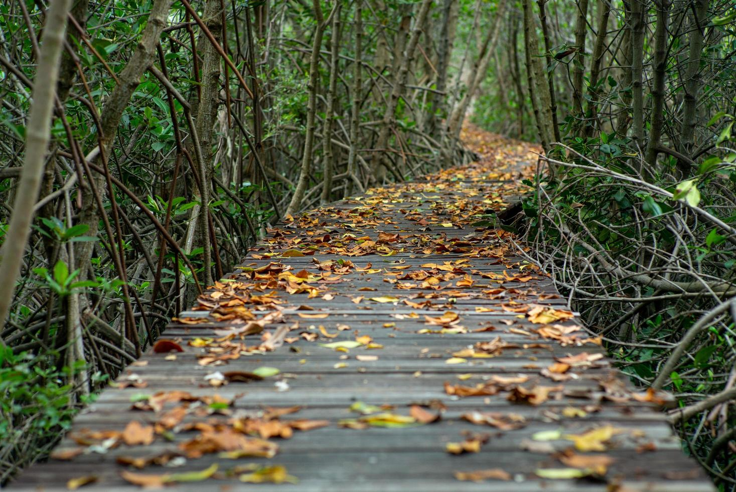 Selective focus picture of many dried leaves on the wooden walkway in the mangrove forest photo