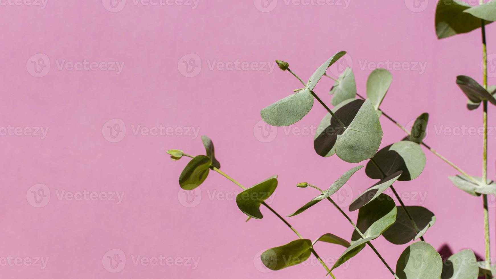 Eucalyptus plant on pink background photo