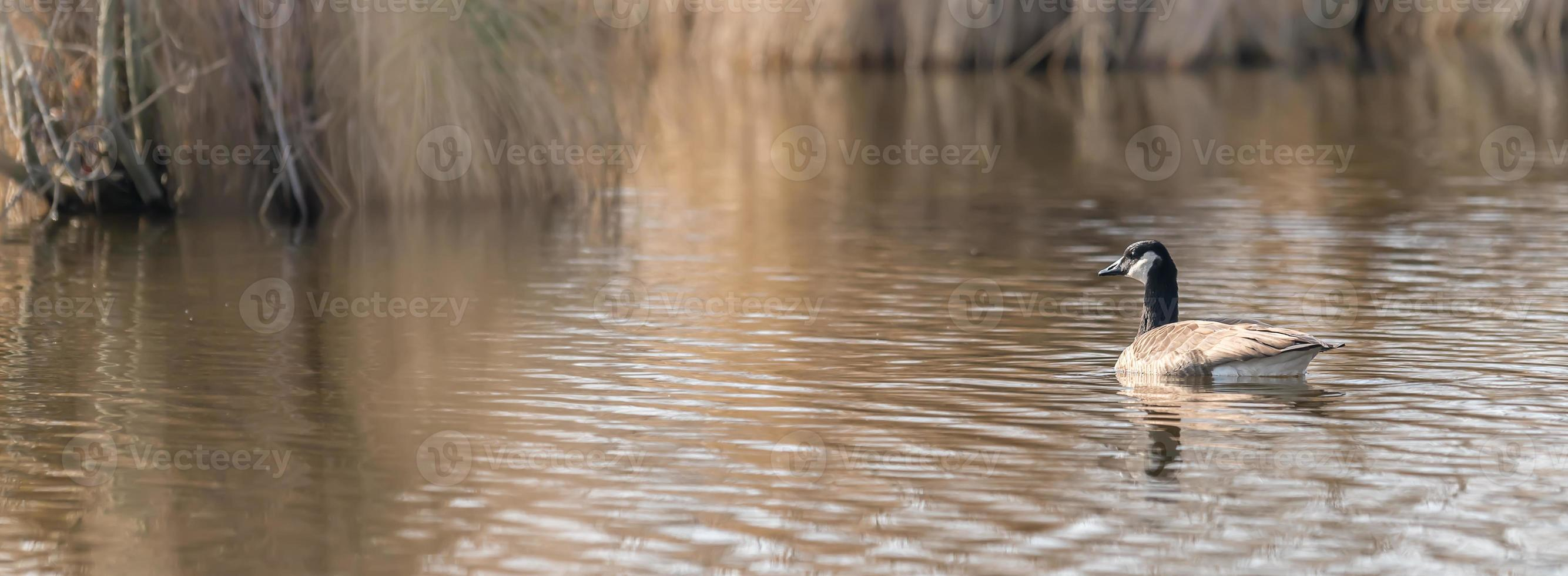 Canadian goose in water photo