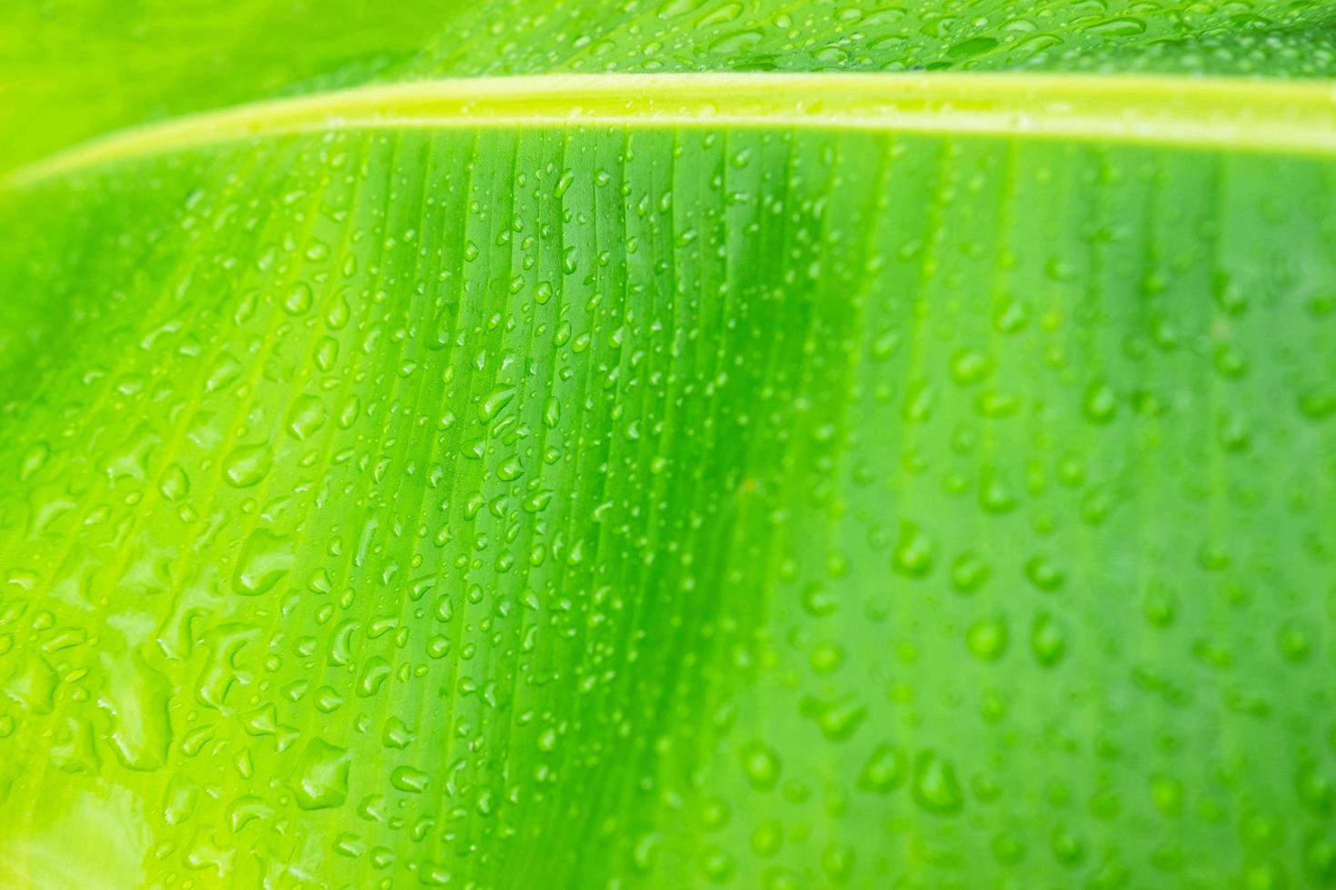 The background of water droplets on the banana leaves after rain. photo