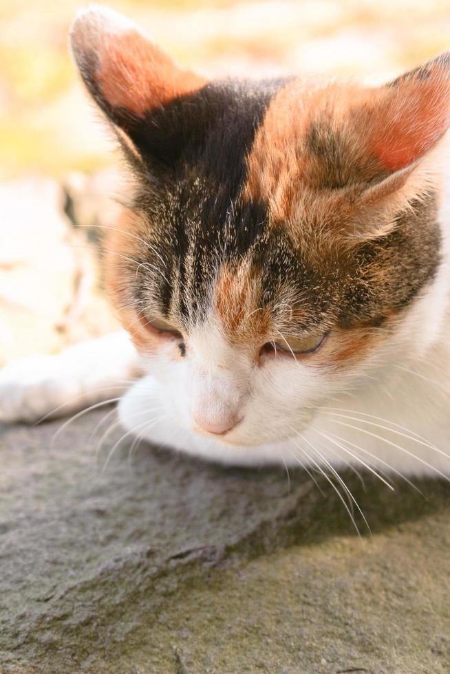 gato calicó en el parque en otoño foto