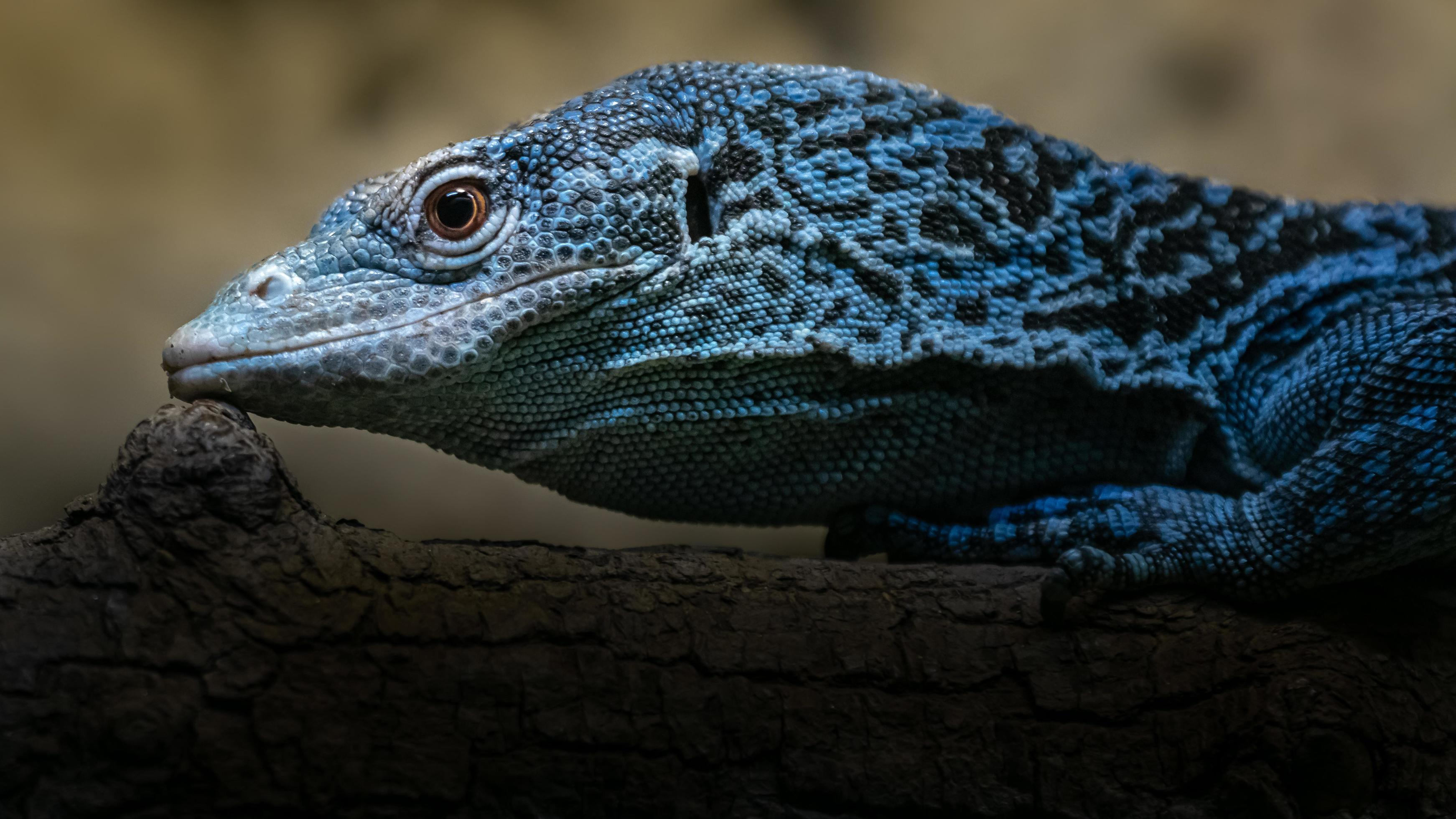 Blue spotted tree monitor 2408008 Stock Photo at Vecteezy
