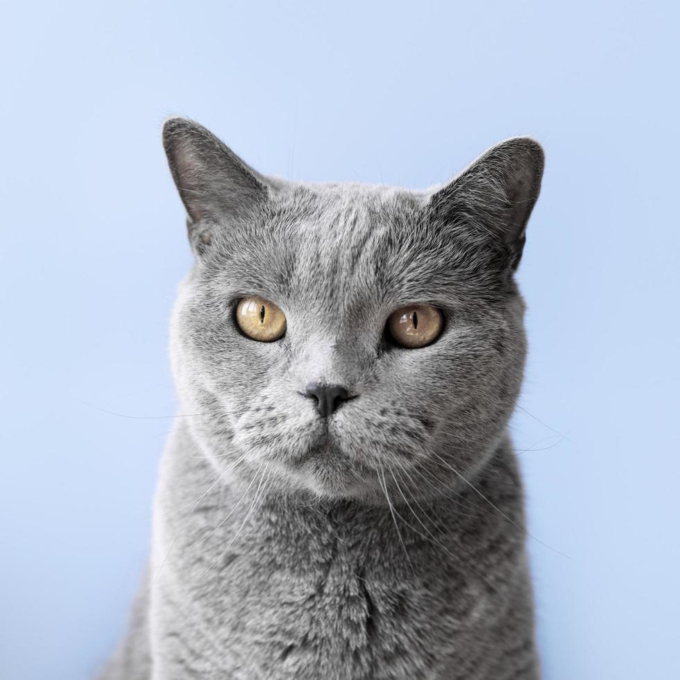 Russian blue kitty with monochrome wall background photo