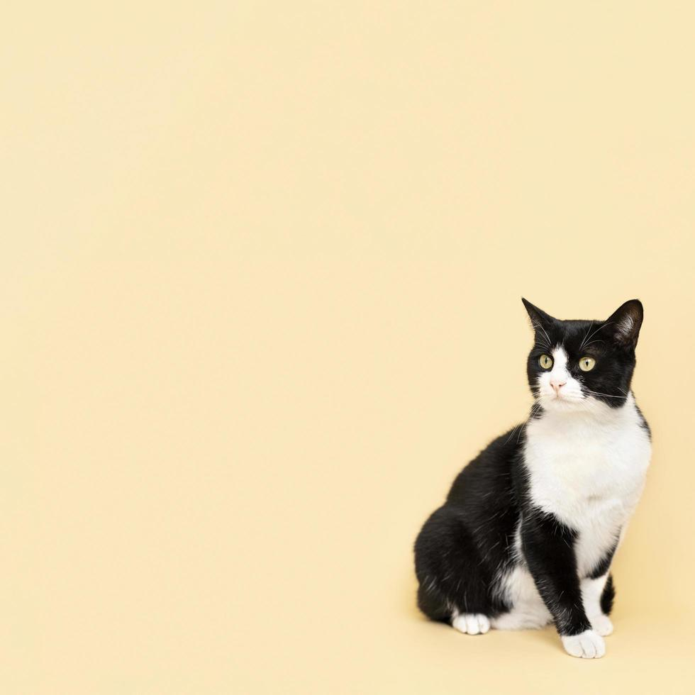 Black and white cat on yellow background photo
