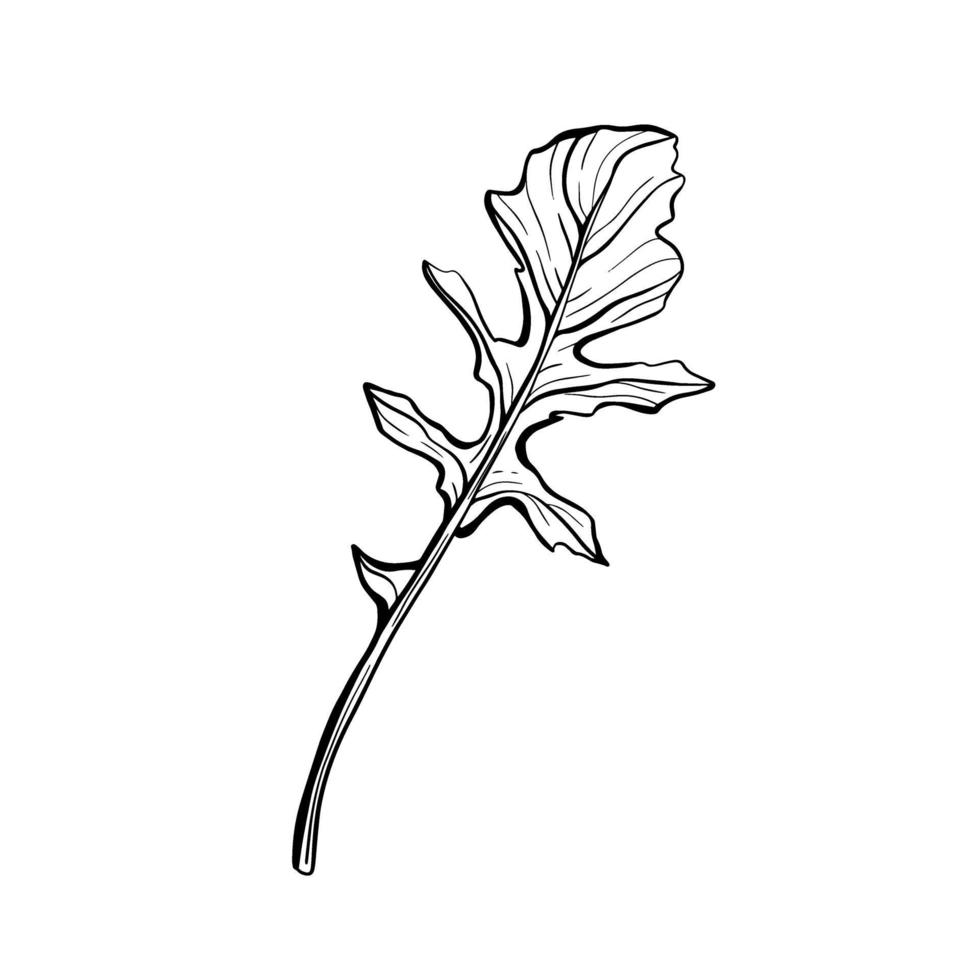 Arugula isolated on a white background. Rucolla-fragrant, delicious greens. Italian herbs. Vector illustration in the Doodle style.