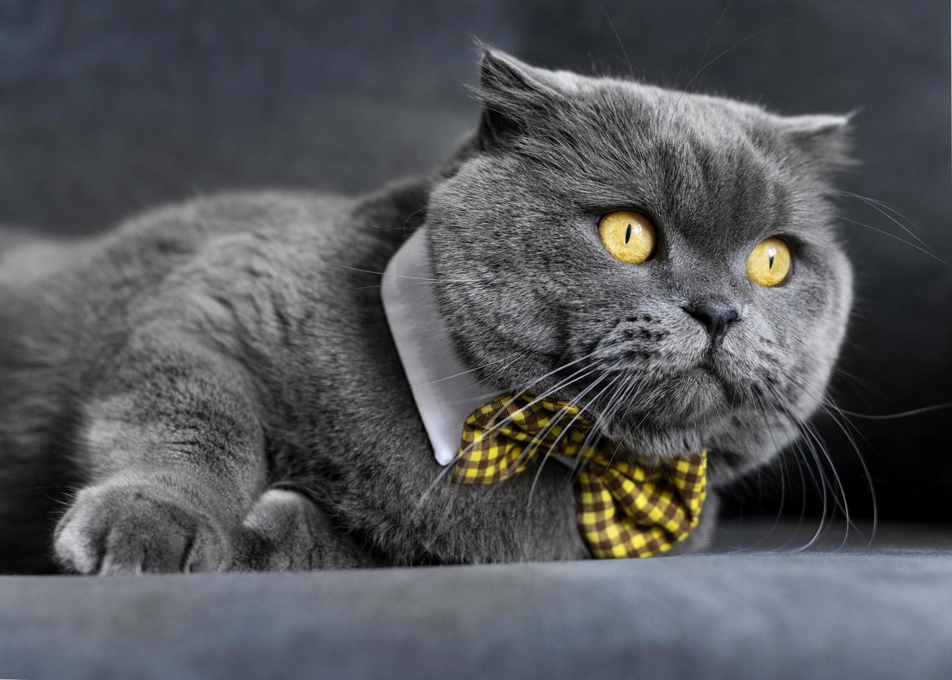 Cute grey cat wearing yellow bowtie photo