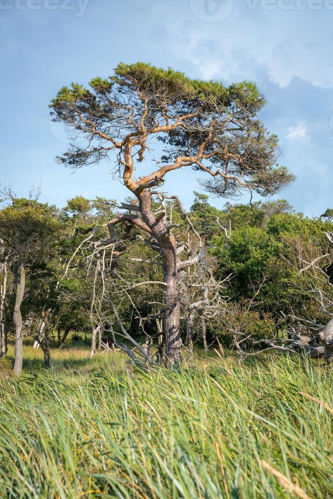 Solo pino se encuentra en una pradera de juncos en la costa del mar del norte de Alemania foto