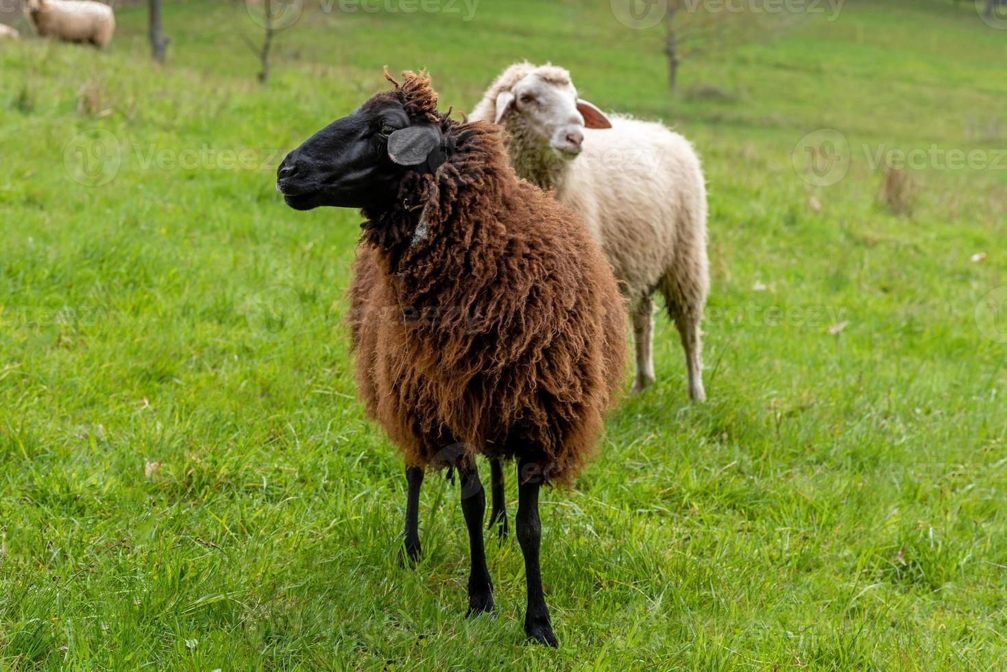A brown sheep stands in a meadow in front of other sheep photo