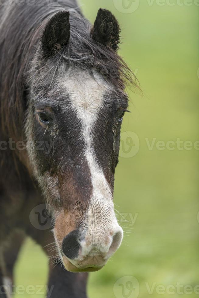 Retrato de un caballo marrón con pelaje sucio está de pie sobre una pradera foto