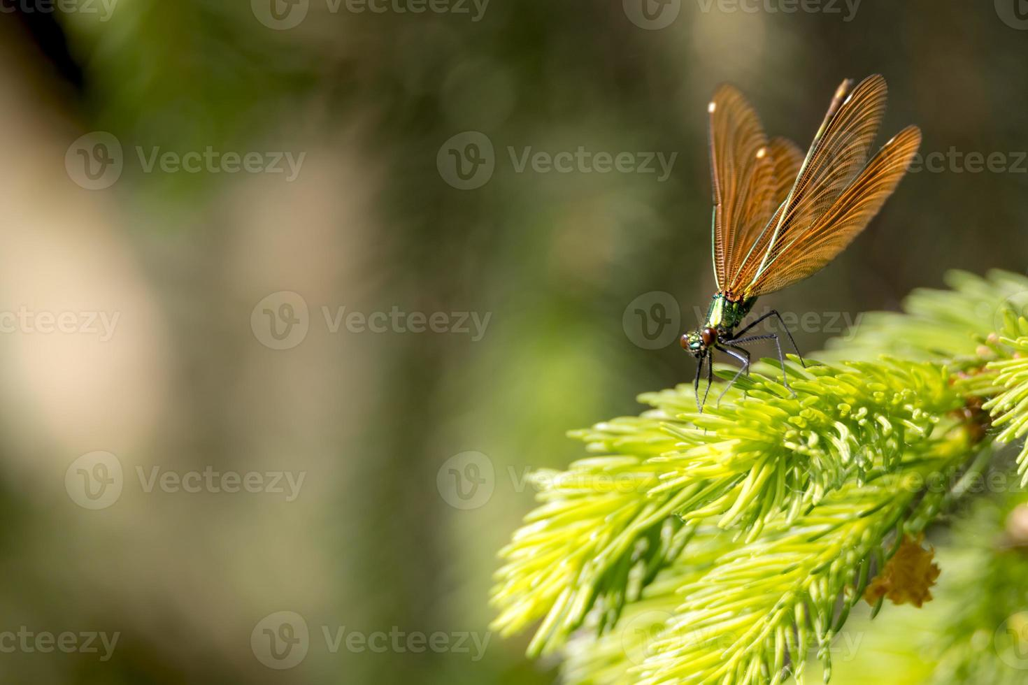 Bronze splendor dragonfly sits on a branch against blurred brown background with copy space photo