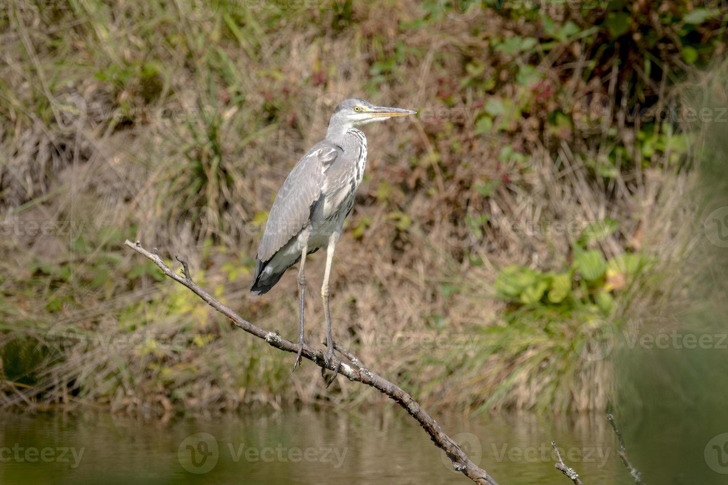 Gray Heron is sitting on a branch which stands in a lake photo
