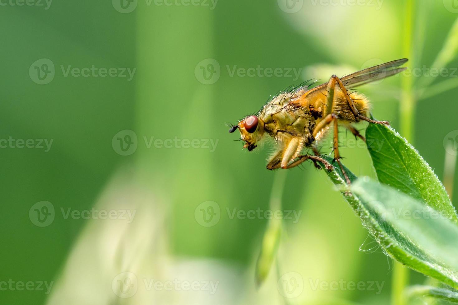La mosca del estiércol amarillo se asienta sobre una brizna de hierba delante de un fondo verde borroso con espacio de copia foto
