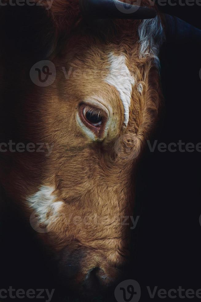 beautiful brown cow portrait in the meadow photo