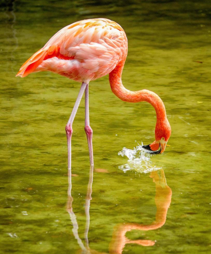 cerca de flamingo foto