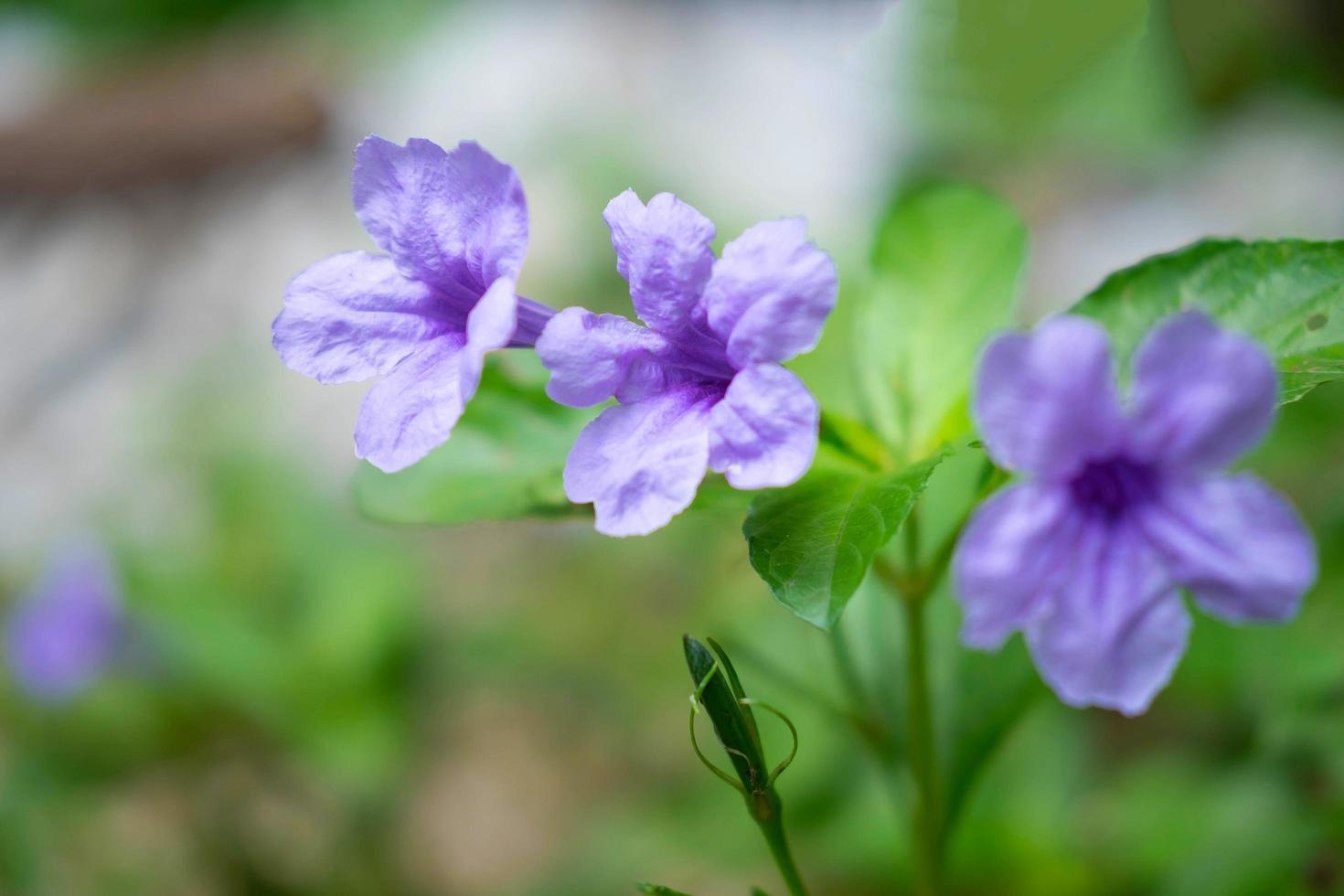ruellia tuberosa flor antecedentes foto