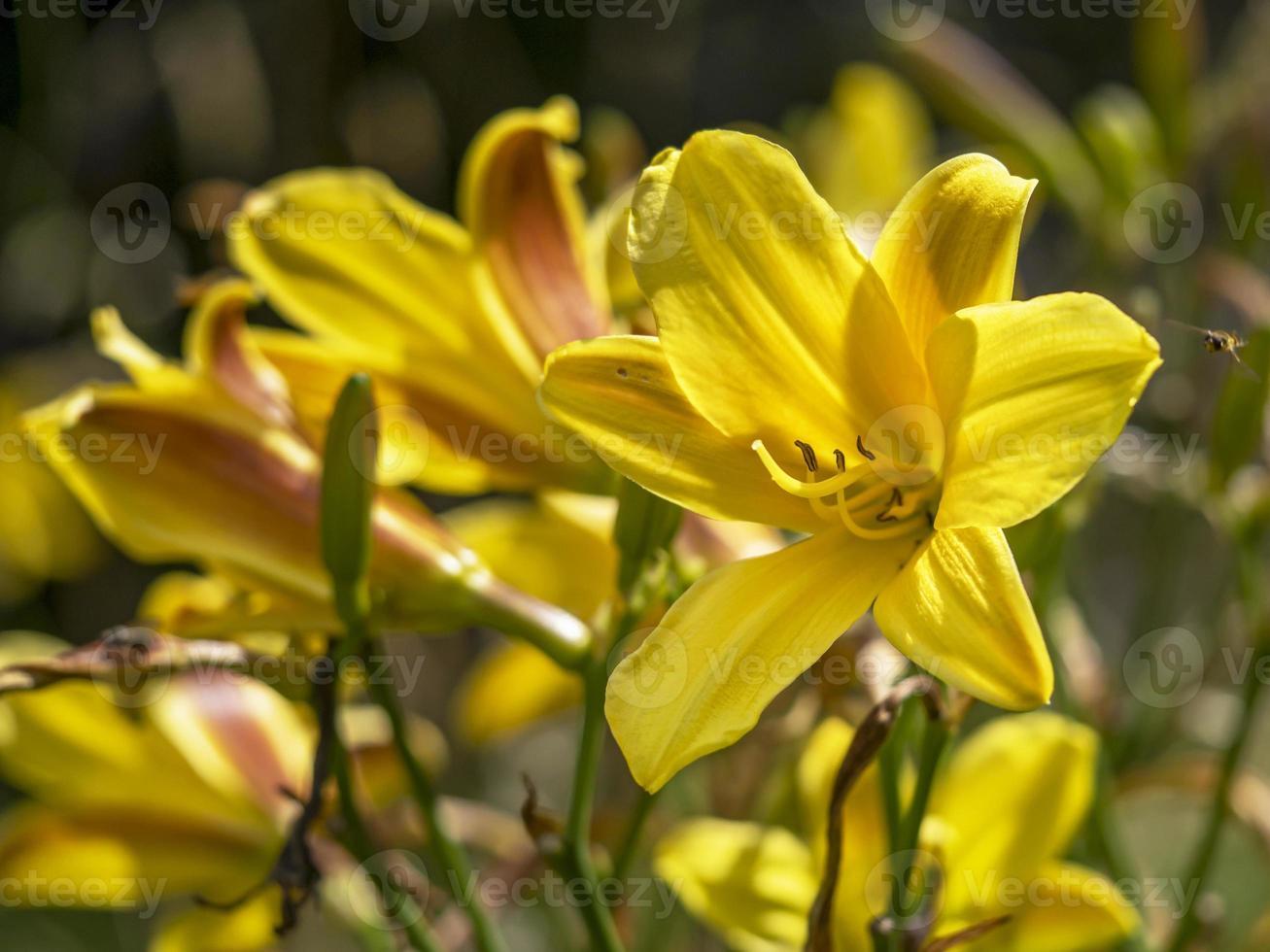 Hemerocallis daylily flores de color amarillo brillante en un jardín. foto