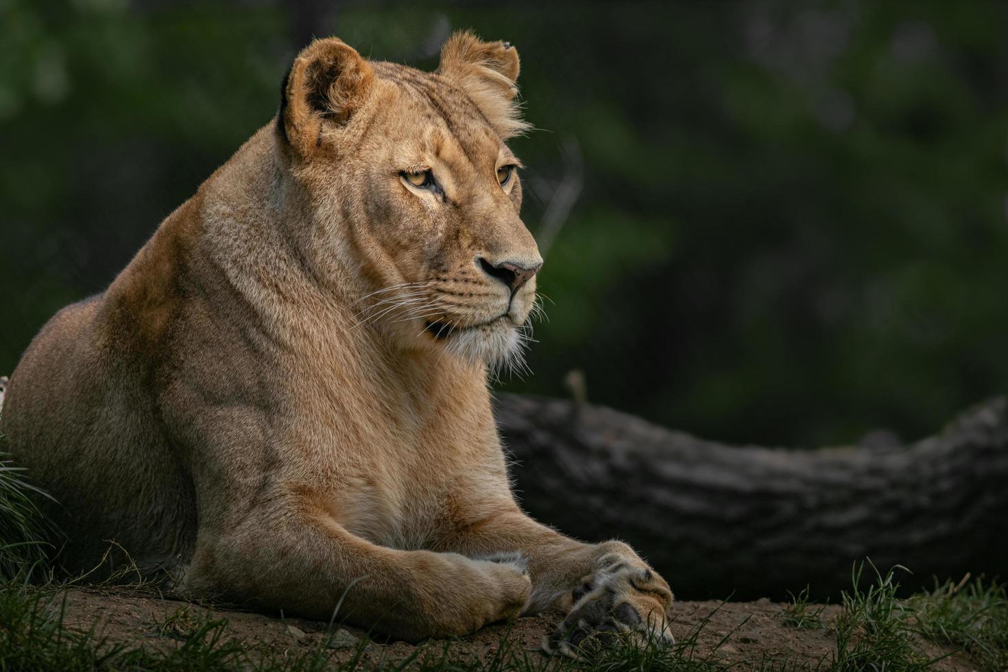 Panthera leo melanochaita photo