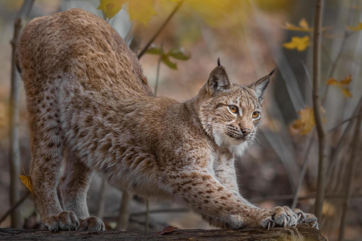 Eurasian lynx in autumn photo
