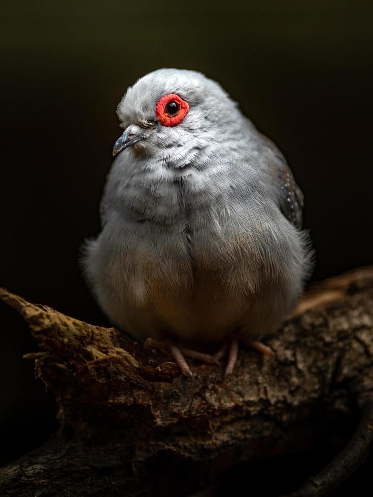 Portrait of Diamond Dove photo