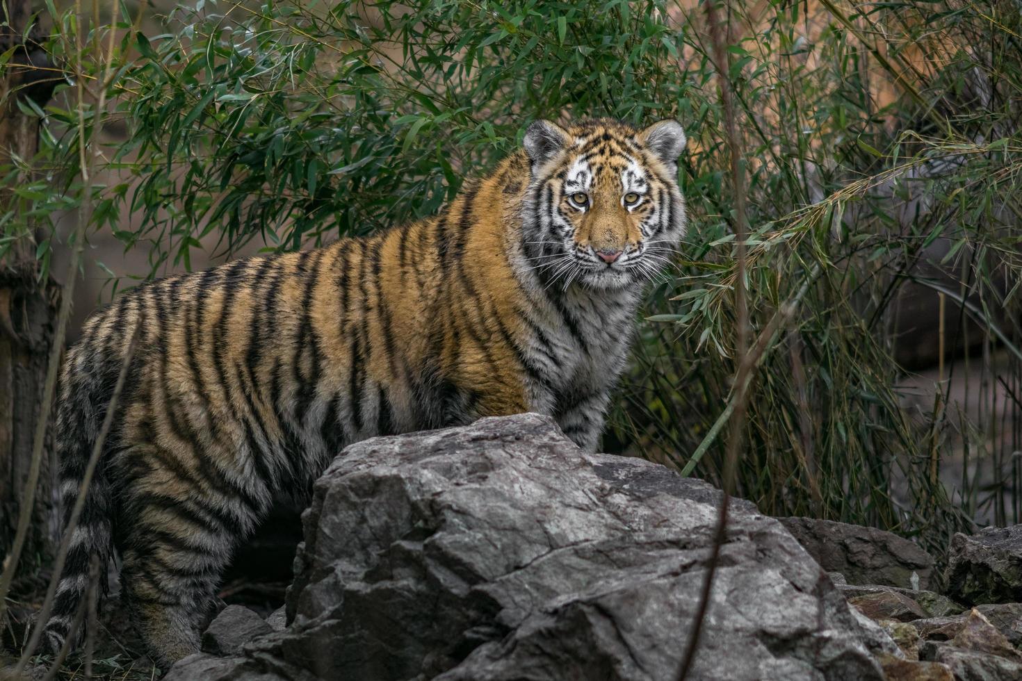 Siberian tiger in zoo photo
