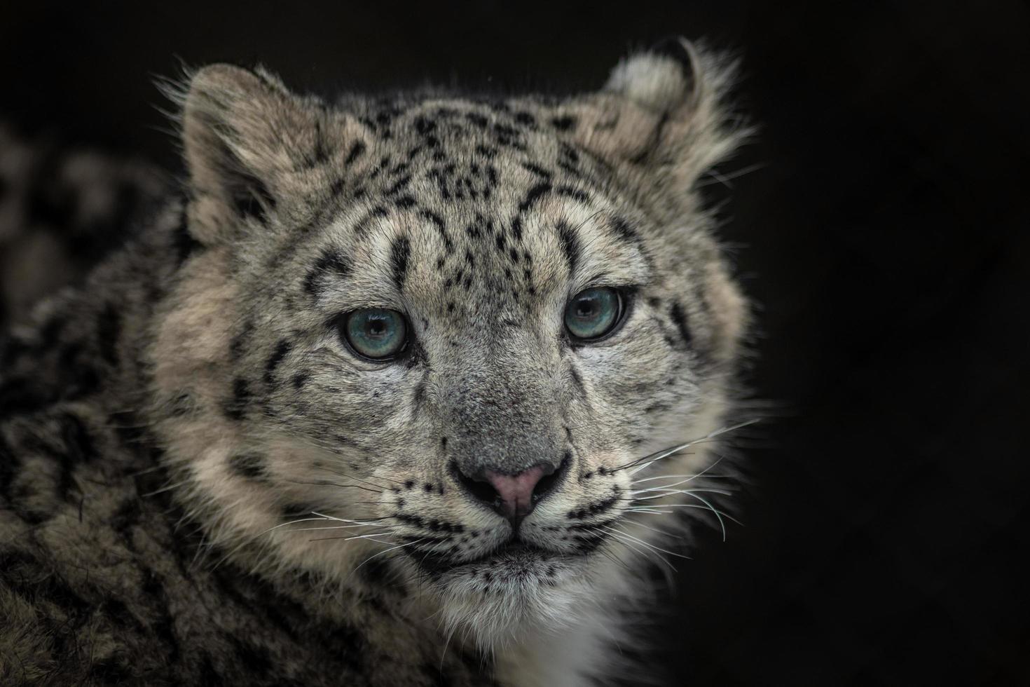 Snow leopard Irbis photo