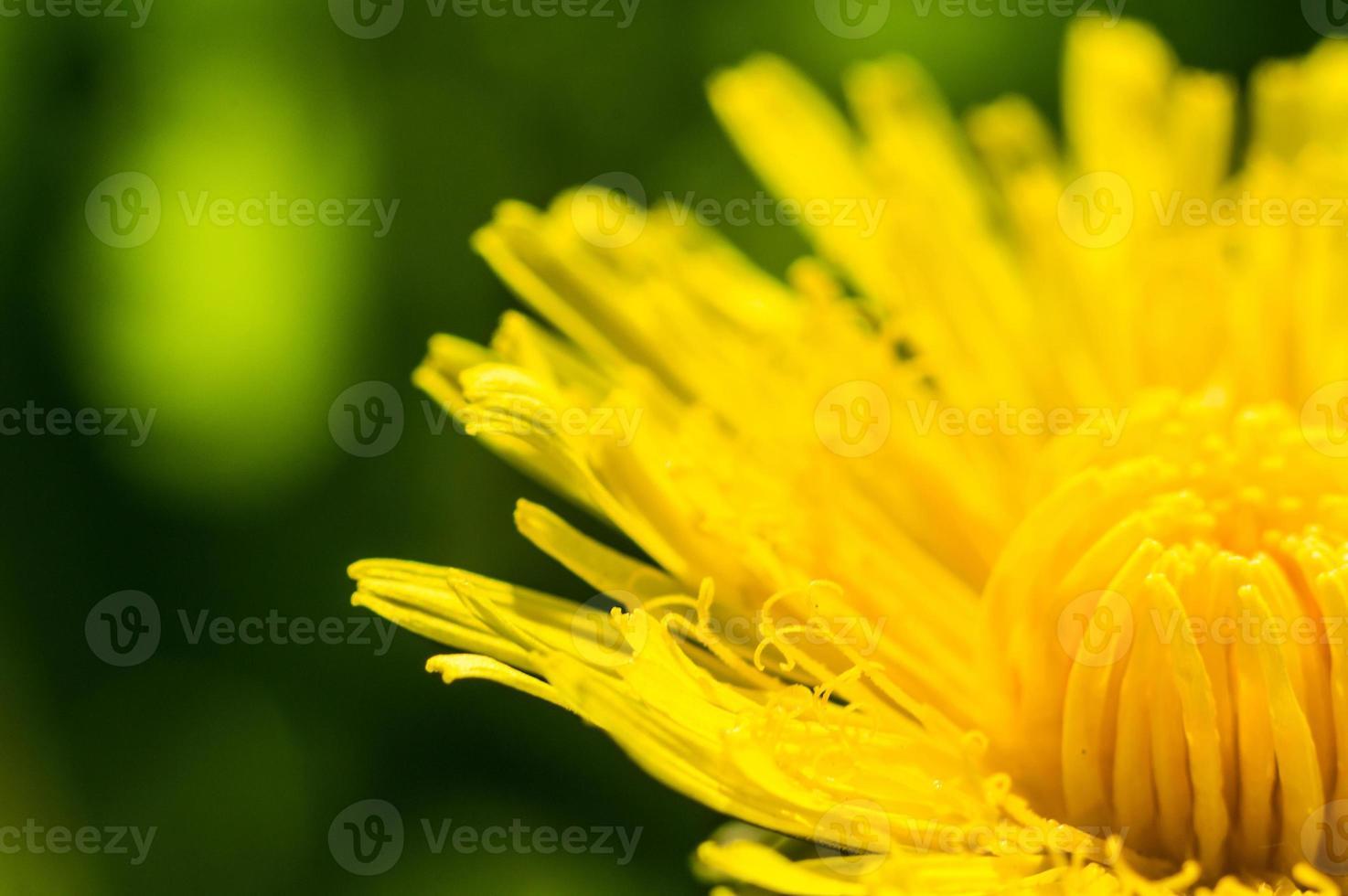 Diente de león con pétalos amarillos en macro foto