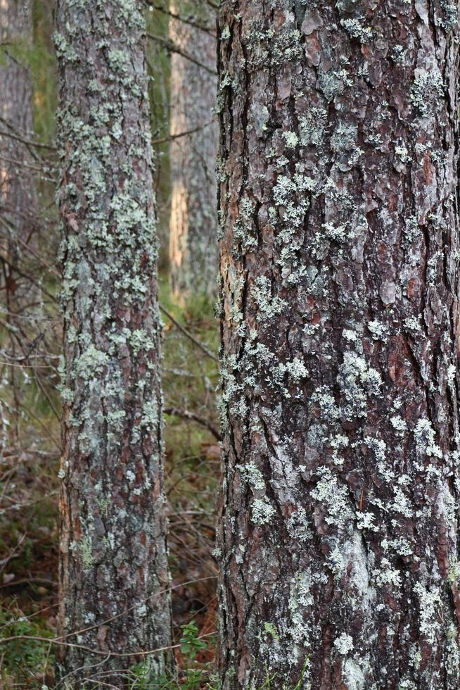 Forest pine tree trunks covered with lichen photo