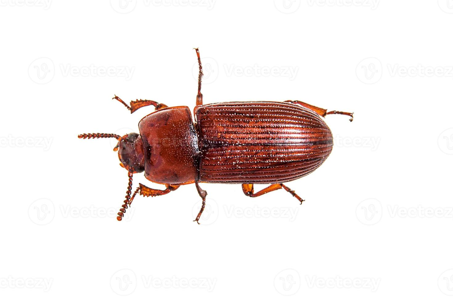 Red brown rice meal beetle lying on its back photo