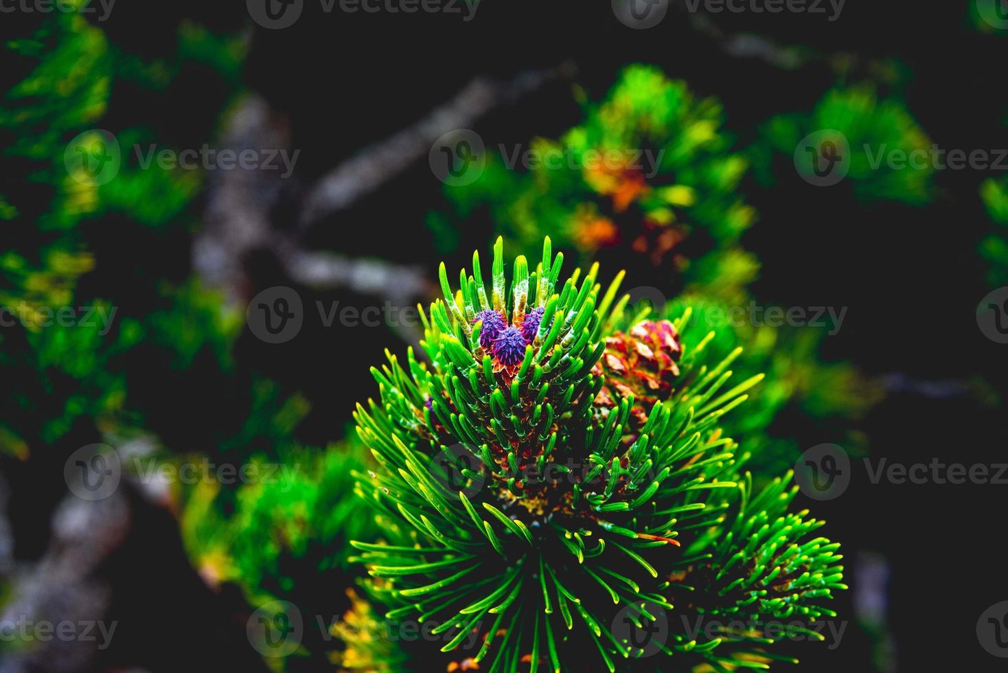 cono de pino de montaña salvaje foto