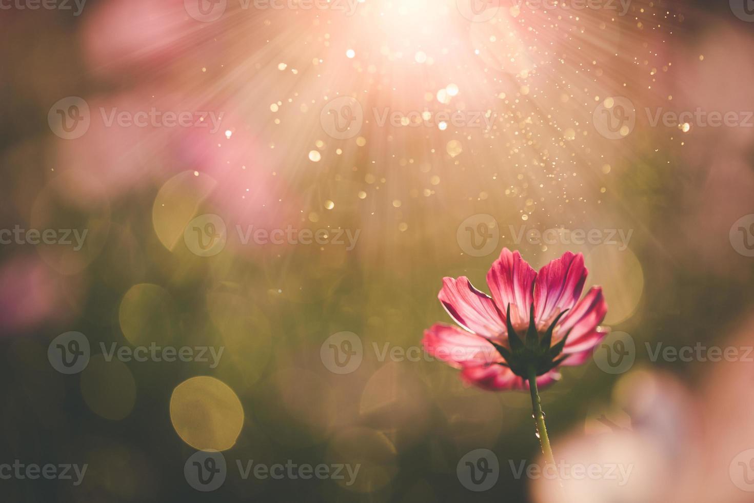 cosmos flores hermosas foto