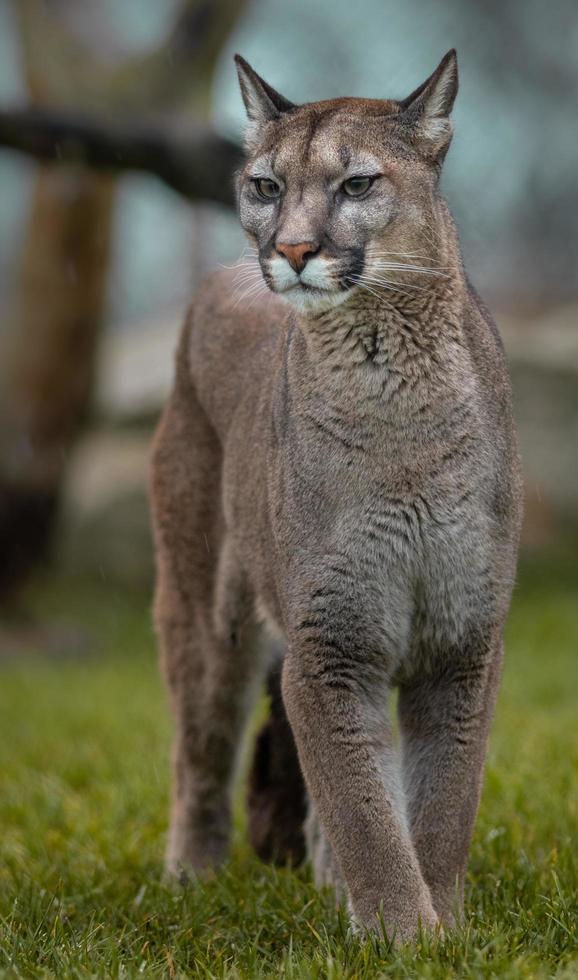 Portrait of Cougar photo