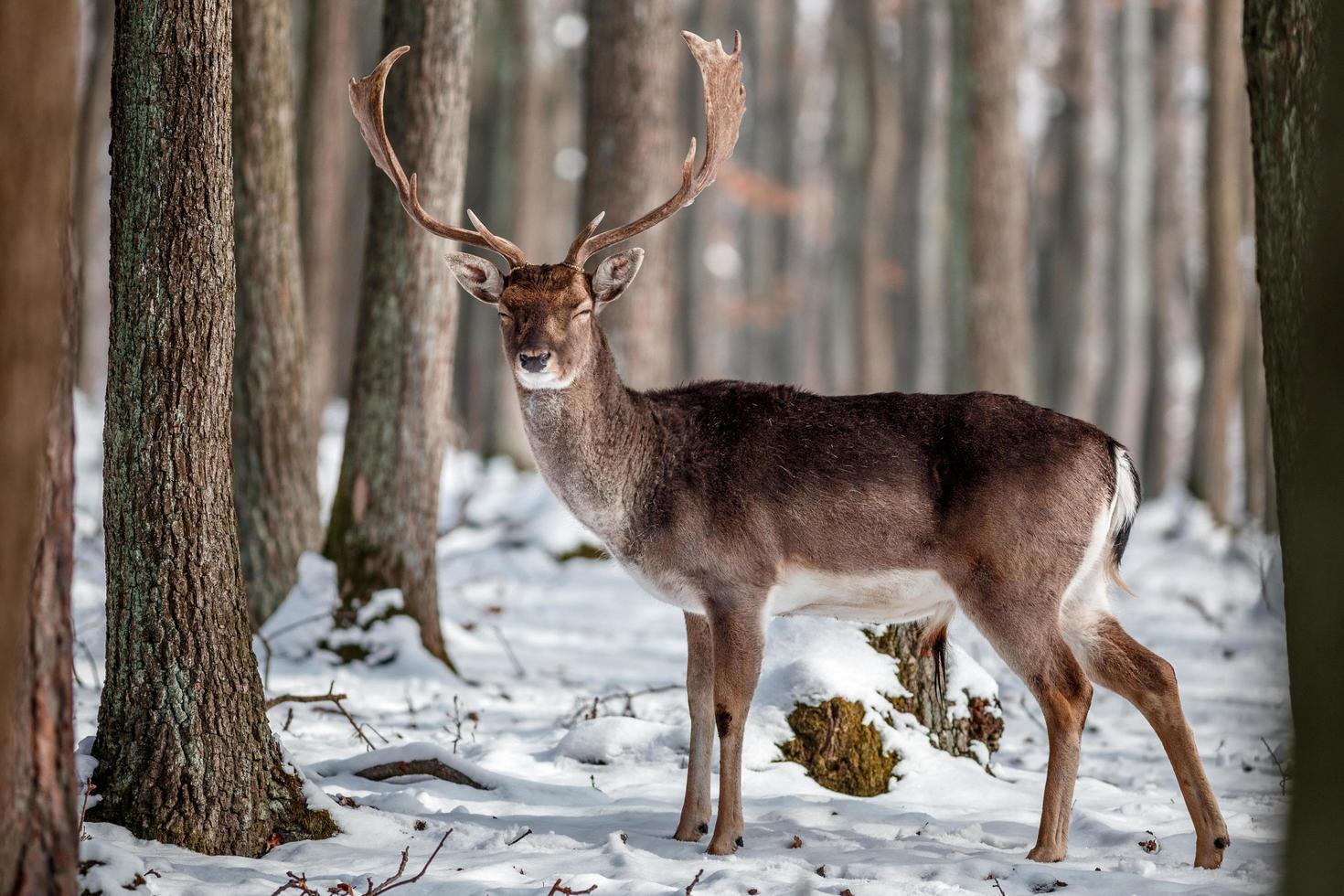 Fallow deer in the wild photo