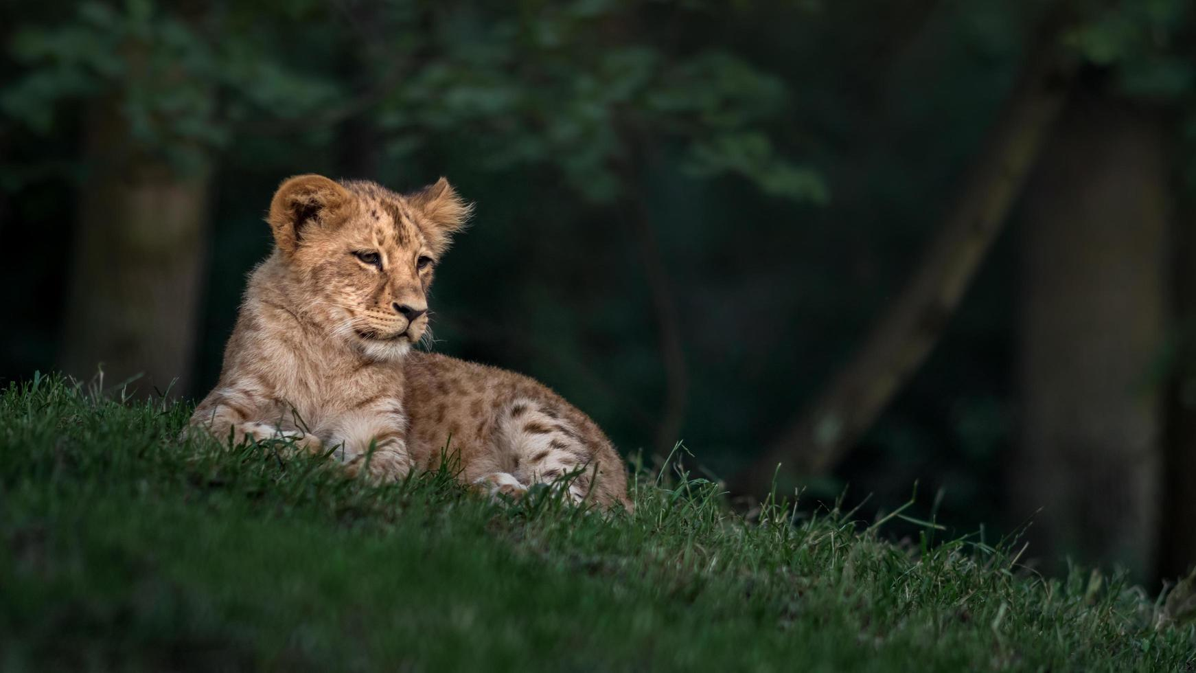 Southern African lion photo