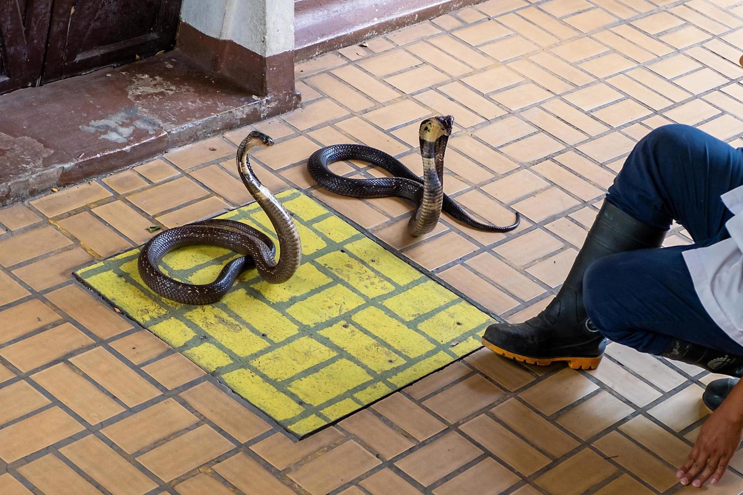Snake handling demonstration fighting with two cobras, Bangkok, Thailand photo