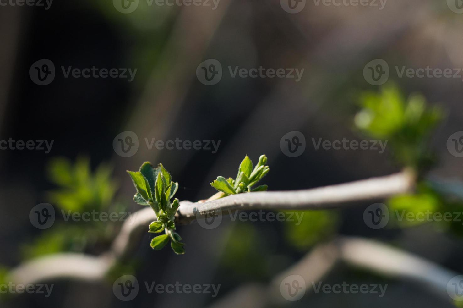 First green leaves on branch of tree photo