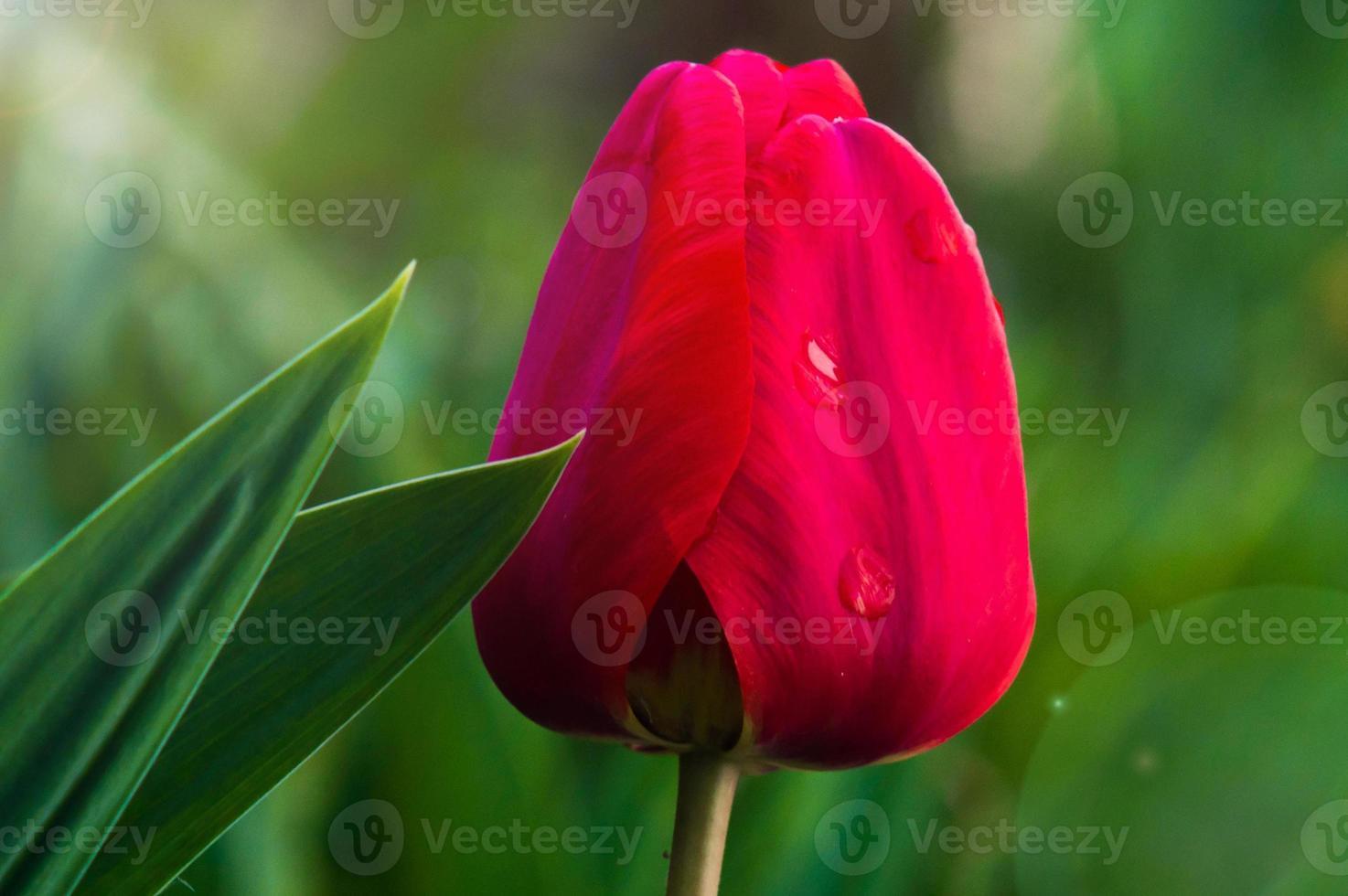 Primer plano de tulipán con pétalos rojos y hojas verdes foto