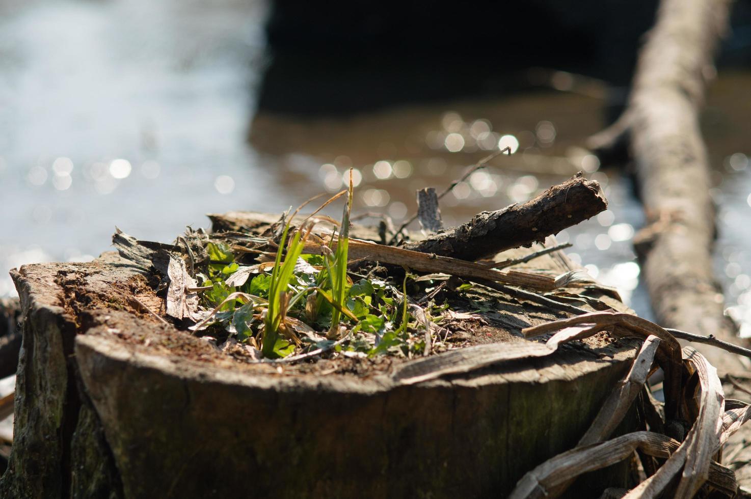 la hierba verde crece de un tocón foto