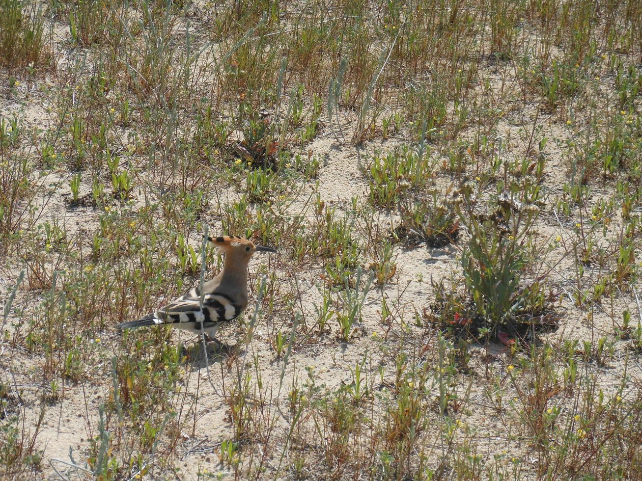 Small hoopoe walking on the sand of a beach photo