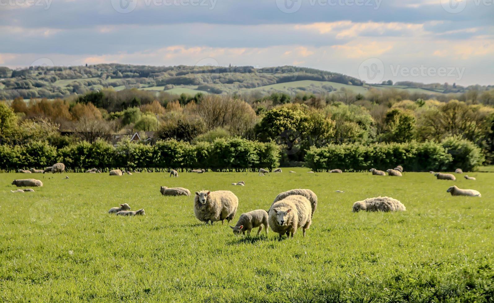West Lancashire Sheep photo