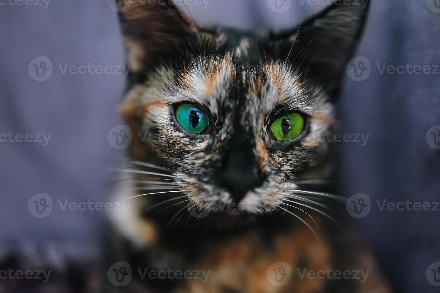 Small cat with different color eyes photo