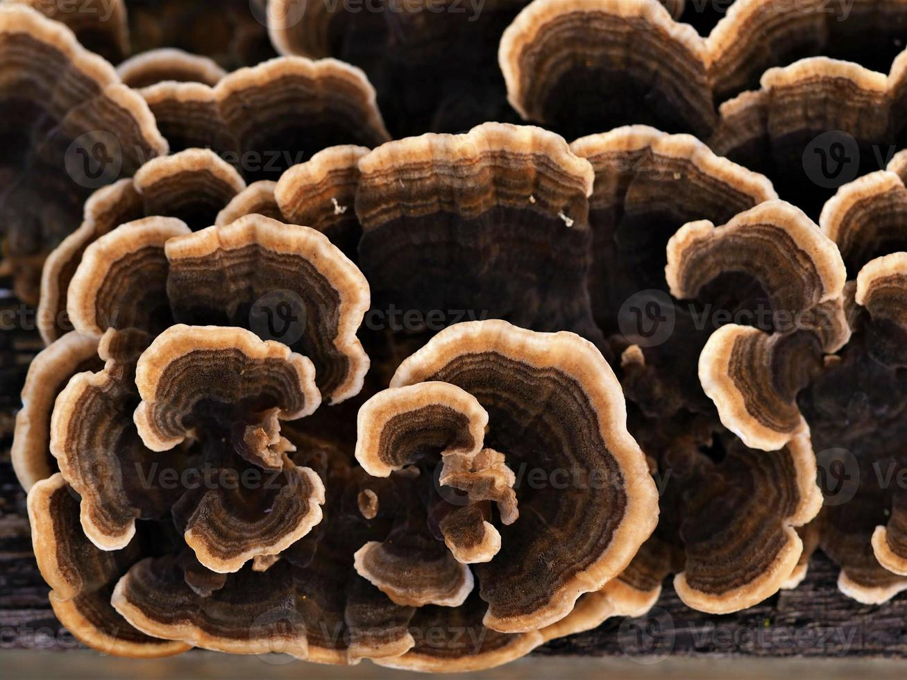 Closeup of an attractive brown patterned fungus growing on a fallen tree trunk from above photo